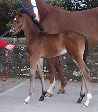 First foal in Scotland of Hemmingway