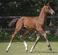 Colt foal by Zapatero VDL